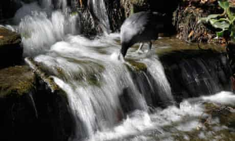 Value of nature : A bird dips its head into a waterfall at Carshalton Pond in south London