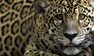 A 'Jaguar', one of an endangered native species of Amazon fauna, Brazil
