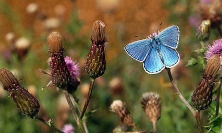 Country Diary : Adonis blue butterfly