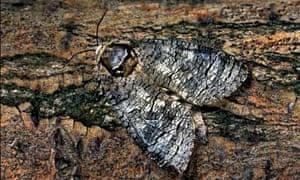 Country Diary : Goat moth (Cossus cossus) on bark