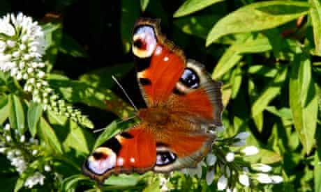Country Diary : Peacock butterfly