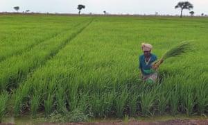 MDG : Ethiopia : Land grab and water grab :  Saudi Star rice farm in Gambella