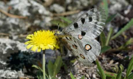 Limestone quarry project on Gotland island, Sweden : rare yellow flower called Gaffelfibbla