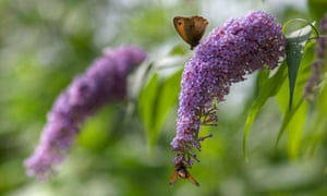 A Meadow Brown butterfly and a Honey bee on a Buddleia flower
