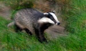 Eurasian badger on the run