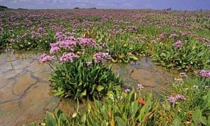 Sea lavender on Norfolk coastal salt marsh