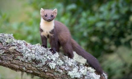 Country Diary Archive Pine Marten