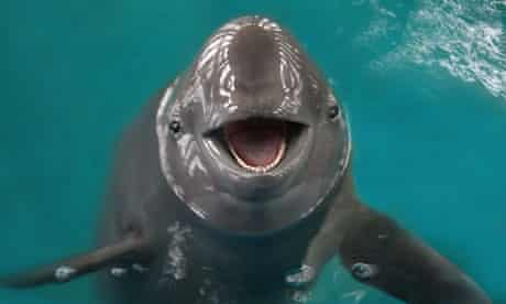 Finless porpoise in the aquarium of the Institute of Hydrobiology's conservation centre in Wuhan