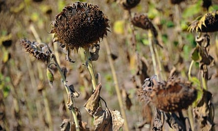 Drought and food price : Dried sunflowers near the village of Kondofri, Bulgaria
