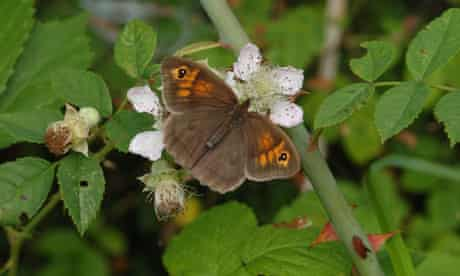 Butterfly Conservation Survey on Butterfly species : Meadow Brown