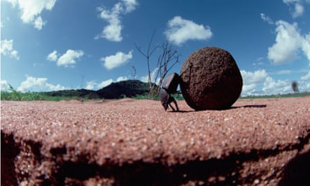 Dung Beetle (Scarabaeidae) rolling dung ball, Kenya