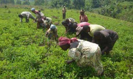 MDG : DRC : Harvesting beans in Buganga near Goma, North Kivu province