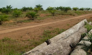 MDG : Liberia : Landgrab  : Sime Darby concession field of palm trees