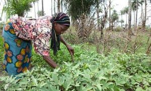 MDG : Sierra Leone : Small-scale farming : woman  in her potato field in Masiaka,