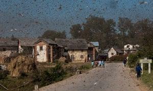 MDG : Red Locust in Madagascar