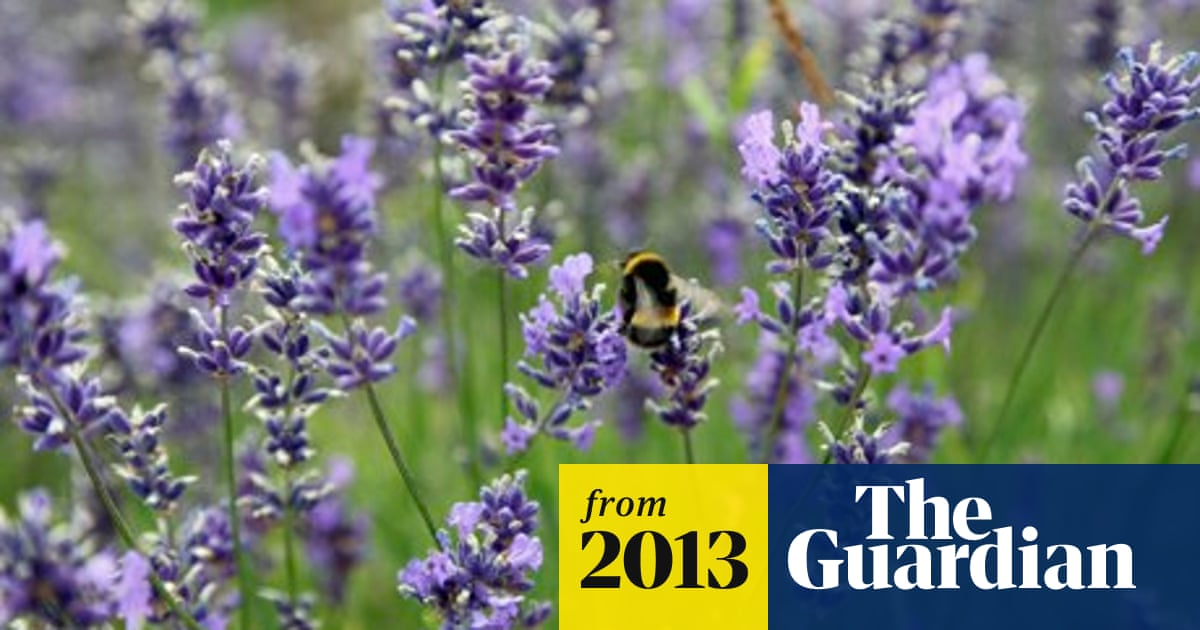 Love Buzz Bees Most Attracted To Lavender And Marjoram Study Finds Bees The Guardian