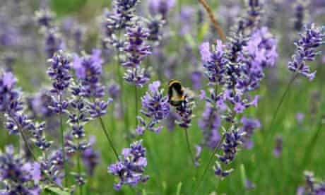 Flower-visiting insects study : Bee on Lavender