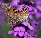 Flower-visiting insects study :  Painted Lady Butterfly on Erysimum flower