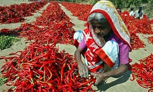 MDG : An Indian woman removes stalk from chilli at a farm in the village of Kalol