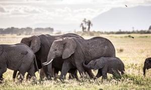elephants walking at Amboseli National Park, Kenya