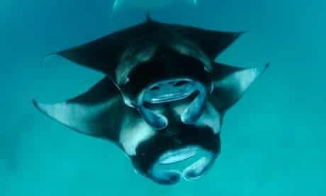Two Piggy-back Feeding Chevron Reef Manta Rays, Maldives