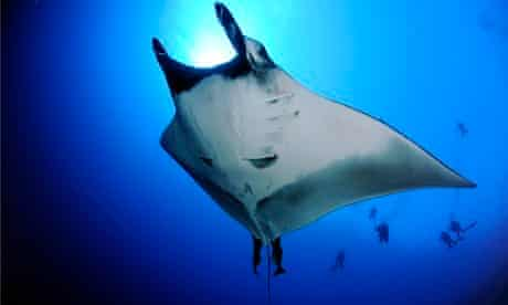 Country Diary : Chevron Oceanic Manta Ray from Below with Divers