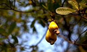 Cashew fruit hangs from a tree on a farm in Kokadda, India