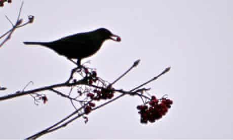 Country Diary : Blackbird eating rowan berries