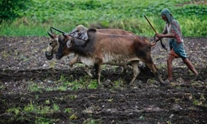 MDG : India inequalities : A farmer uses buffaloes to plough his paddy field in Kolkata