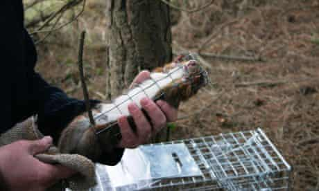 Scientist holding a red squirrel during field study on the impact poxvirus infection, squirrelpox