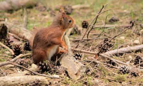 A red squirrel seen during field study on the impact poxvirus infection, squirrelpox