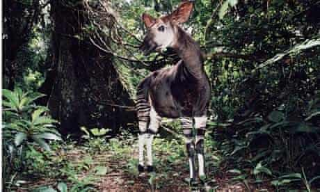 IUCN red list : Male Okapi in Epulu Ituri Rainforest Reserve Democratic Republic of Congo