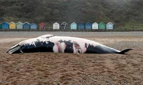 dead Minke Whale washed up on the beach at Cromer, Norfolk