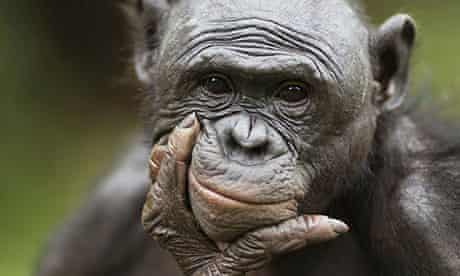 MDG : chimpanzee