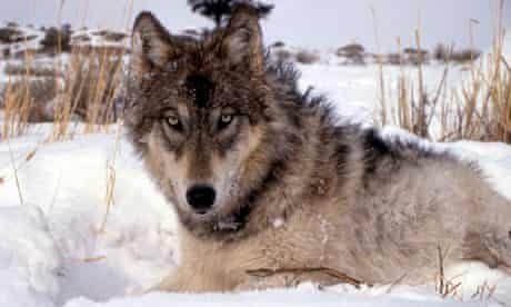 Gray wolf in the wild