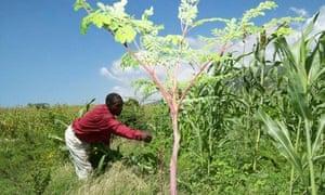 MDG : Innovations : Moringa oleifera in Haiti
