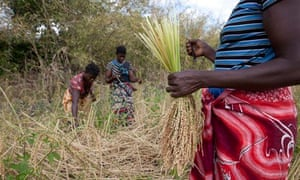 MDG : Farmers in Mozambique, women harvest their rice crop
