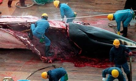 Japanese whalers with a minke whale carcass.