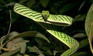 Reptiles threatened with extinction : Ahaetulla nasuta