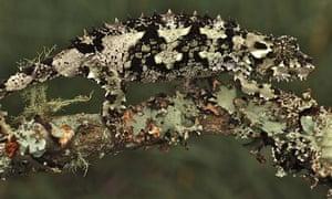 Reptiles threatened with extinction : Chamaeleo Laterispinis