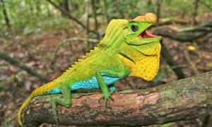 Reptiles threatened with extinction : Chamaeleo Lyriocephalus Scutatus