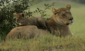 Lions in Botswana under threat