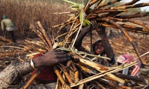 Food companies and ethical standards : Men work at a sugar cane plantation in Siribala, Mali