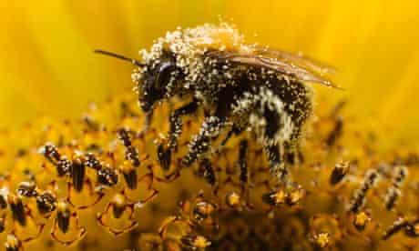 A bee collects pollen from a sunflower in Utrecht