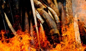 CITES  meeting in Bangkok : Burning of Gabon's entire stockpile of illegal poached ivory