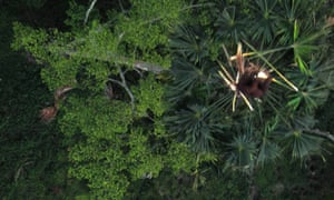 Drone to fight illegal wiillife trade : oranguatan in Aceh, Sumatra, Indonesia