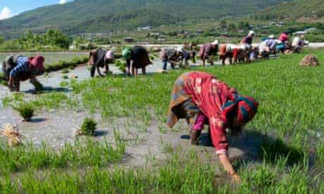 MDG : Bhutan : farmers transplanting rice shoots into rice paddies in Paro valley,