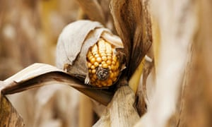 Corn Harvest In South Dakota