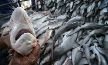 CITES in Bangkok : Shark fin protest : hundreds of juvenile sharks