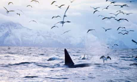 Country Diary : Orcas and seagulls chasing herrings